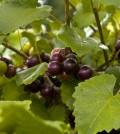 Muscadine-grapes-120x134